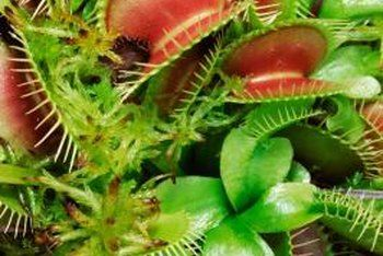 Stages Of Growth For The Venus Flytrap Venus Fly Trap Plants Carnivorous Plants
