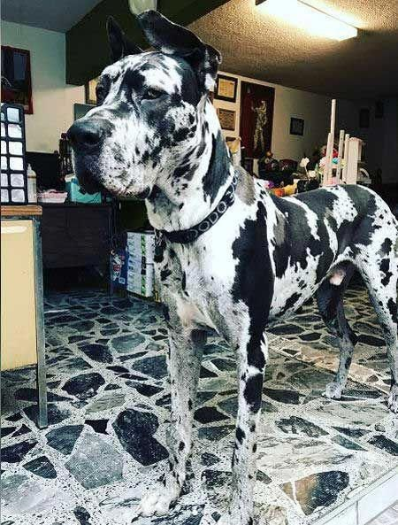 See Our Website For Additional Information On Great Dane It Is
