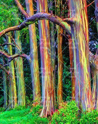 200pcs Rainbow Eucalyptus Seeds Tropical Tree Seeds Home Decoration Beautiful Eucalyp Rainbow Eucalyptus Tree Hawaii Rainbow Eucalyptus Tree Rainbow Eucalyptus