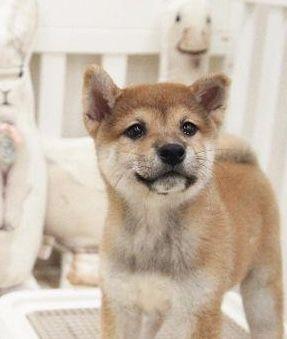 Shiba Inu Puppy For Sale In San Jose Ca Adn 57034 On Puppyfinder