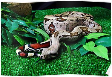 Red tailed suriname Boa constrictor Poster