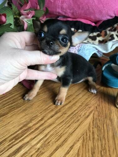 Chihuahua Puppy For Sale In Tracy Ca Adn 64153 On Puppyfinder