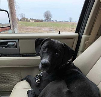 Find A Pet To Adopt Petsmart Charities Labrador Retriever Pets Pet Adoption