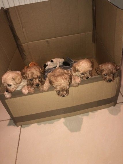 One Male Cavapoo Puppy Left For Sale Puppies For Sale Cavapoo