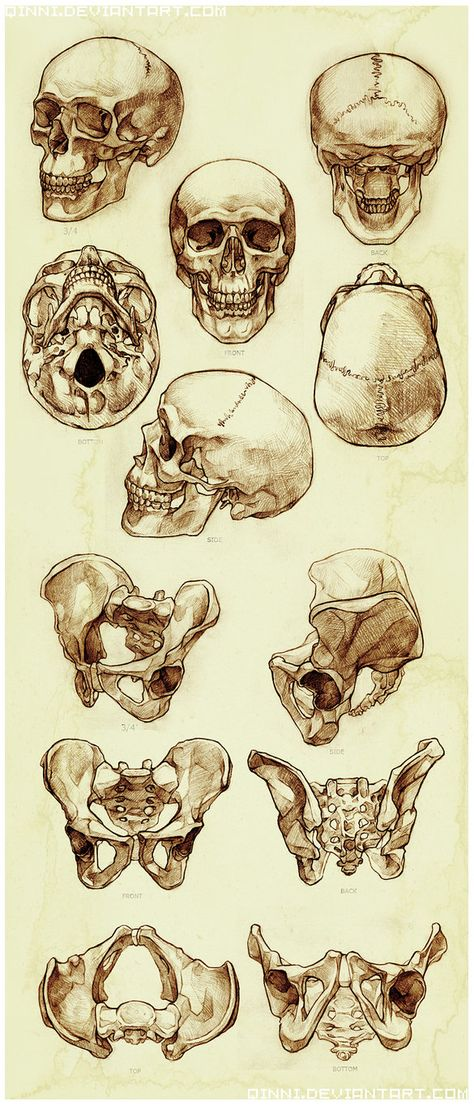 Skull and Pelvis Study by Qinni https://www.facebook.com/CharacterDesignReferences
