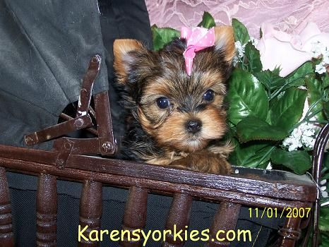 Yorkie Puppies For Sale Yorkies For Sale Yorky Breeder Yorky Puppies Yorkshire Terrier Y Yorkie Puppy For Sale Yorkshire Terrier Puppies Yorkshire Terrier
