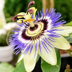 Passion Flower Blue Bouquet Passion Flower Passion Vine Passion Flower Plant