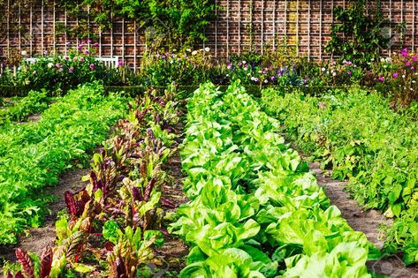 Vegetable garden in late summer. Herbs, flowers and vegetables..