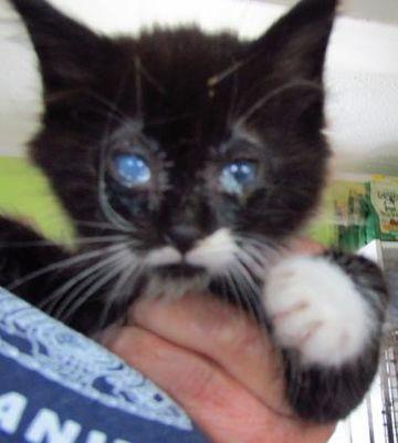 West Memphis Ar Domestic Mediumhair Meet Mr Magoo A Cat For Adoption Cat Adoption Siberian Cats For Sale Puppy Adoption