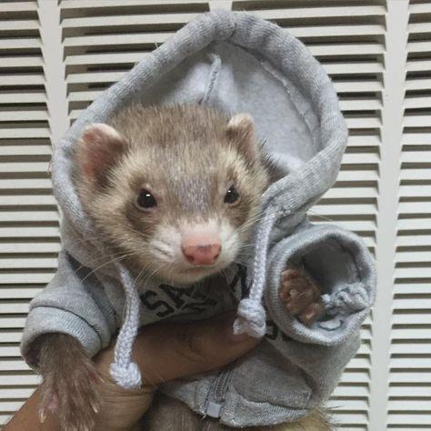 It's Hoodie Season Baby Ferrets, Funny Ferrets, Pet Ferret, Ferret Cage, Cute Little Animals, Cute Funny Animals, Cute Dogs, Fluffy Animals, Animals And Pets