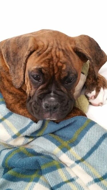Our Handsome Boy 13 Weeks Old And Ready To Snuggle Boxer Puppies Boxer Dogs American Boxer Dog