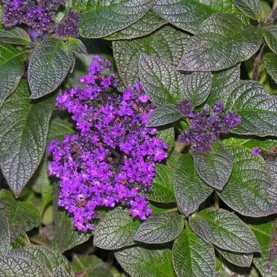 Heliotrop Plants Flowers
