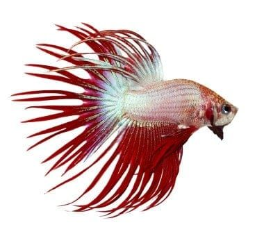 37 Types Of Betta Fish Breeds Patterns Colors Tails With Pictures It S A Fish Thing Betta Fish Types Betta Fish Betta Betta fish wallpaper gif cat with
