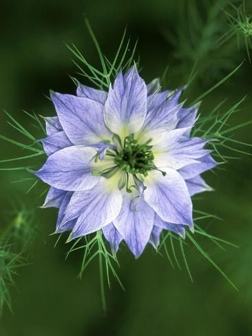 Nigella Love In The Mist Close Up Of Blue Flower Head Photographic Print Lynn In 2020 Beautiful Flowers Pictures Beautiful Flowers Photography Flower Aesthetic
