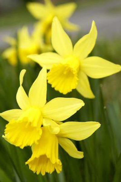 Daffodil Care When Done Blooming Daffodils Planting Daffodils Daffodil Flower
