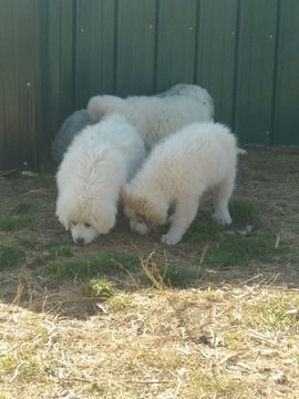 Great Pyrenees Puppy For Sale In West Plains Mo Adn 71733 On
