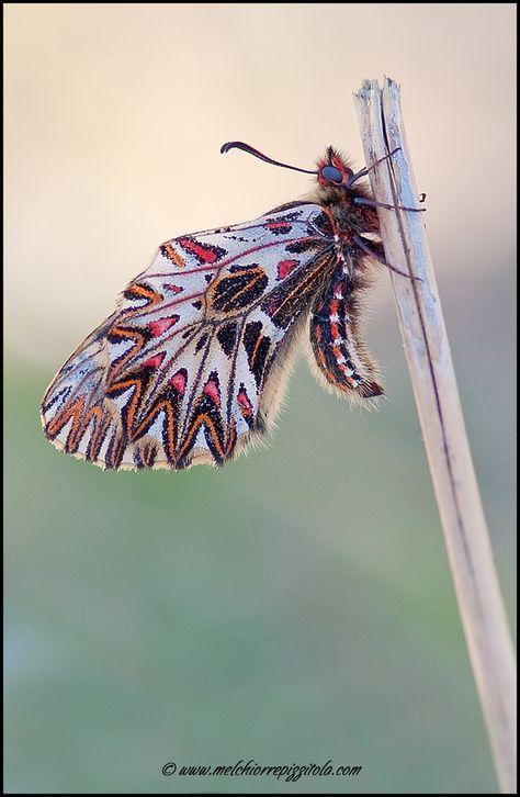 Zerinthia Polixena Insekten Tiere Und Motte