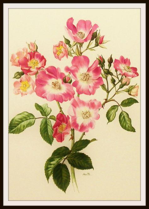 American Rambler Rose, Flower Print, Vintage Botanical Illustration (For You To Frame) Book Plate No.