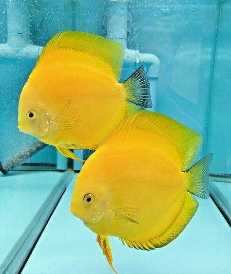 Golden Lemon Proven Breeding Pair 59 00 One Day Shipping Coldwateraquariumsetup Care In 2020 Freshwater Aquarium Discus Fish Tropical Fish Aquarium