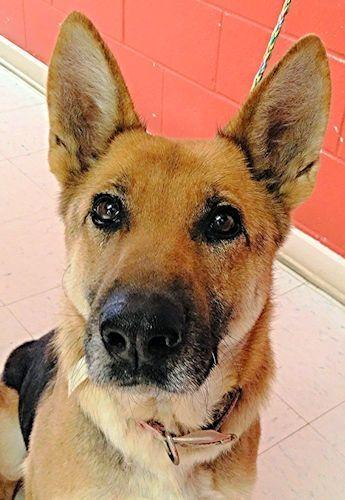 German Shepherd Dog Dog For Adoption In Rutherfordton Nc Adn