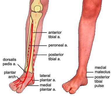 foot pulses diagram two speed three phase motor wiring posterior tibial pulse quality is the most sensitive indicator of arterial function nclex pinterest vascular ultrasound and