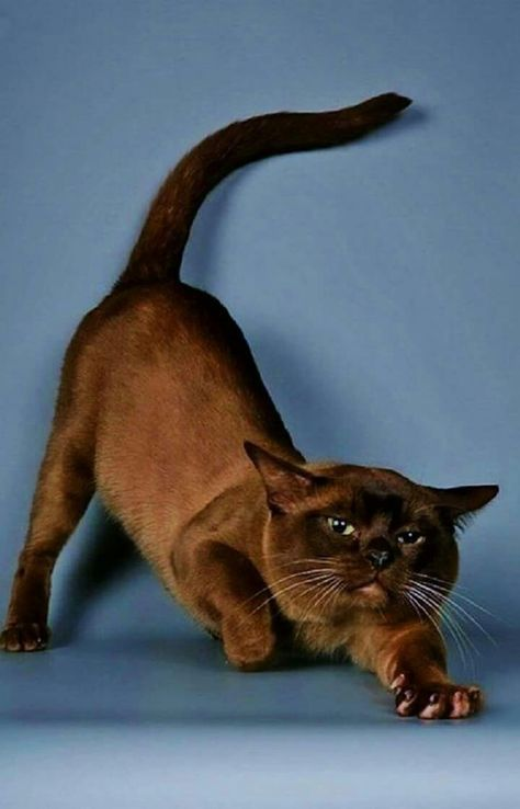 Pin De Nohora Yolima Diaz Rodriguez En Gato Gatos Bonitos Razas