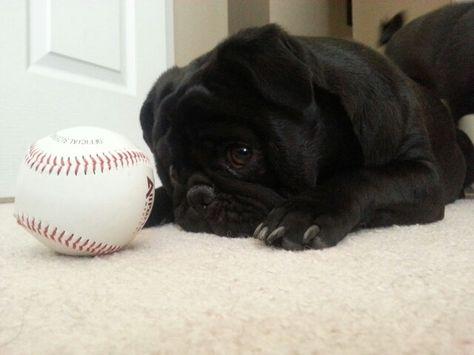 """What to do? My pug Babe aka """"Tank"""" #blackpug#pugwithaball #cutepug #pugeyes #pugaddict"""