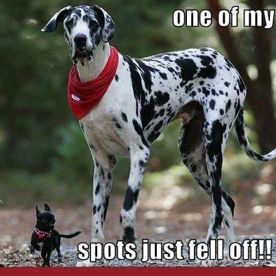 https://i.pinimg.com/474x/d1/c6/42/d1c6422d91e81cbd19e5ac075e798f26--chihuahuas-chihuahua-dogs.jpg