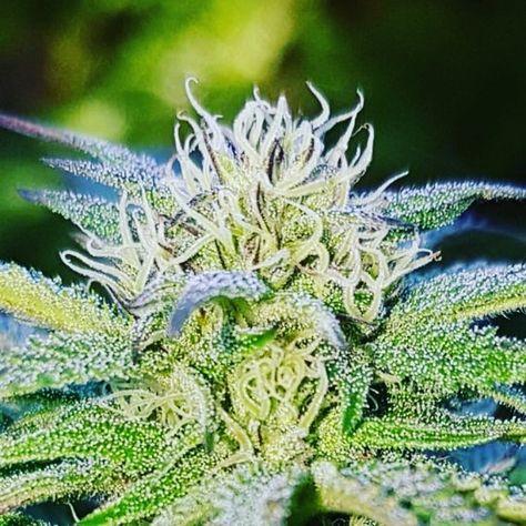 Herbsnbuds Com Week 4 Flowering Outdoor Grow Growth Grower