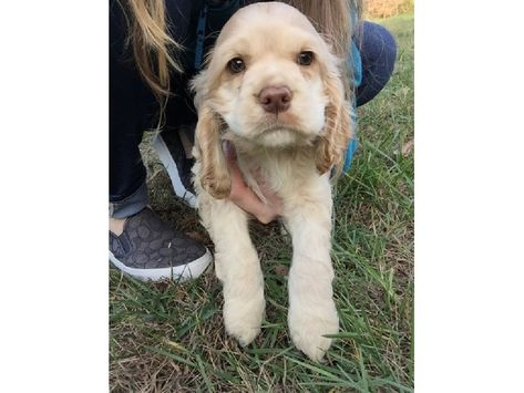 Home Raised Male And Female Cocker Spaniel Puppies Cocker