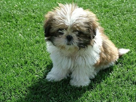 Non Shedding Dogs A List Of Small Mid Sized And Large Dogs That Don T Shed Dog Breeds That Dont Shed Hypoallergenic Dog Breed Dog Shedding