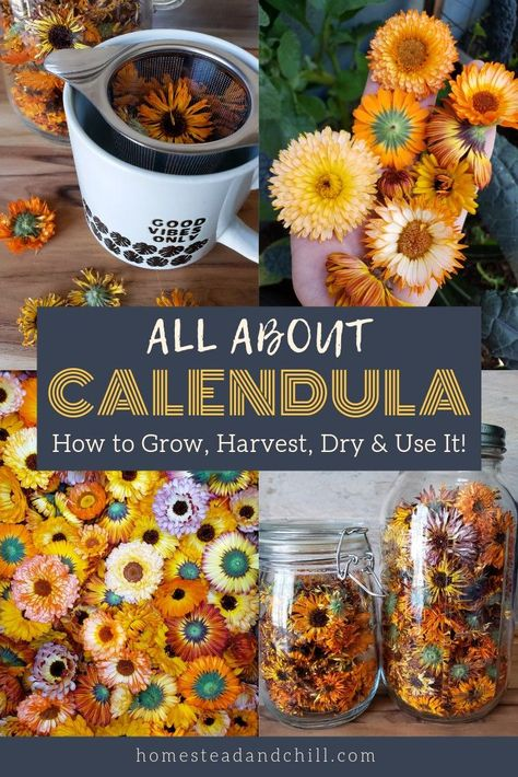 All About Calendula: How to Grow Harvest Dry & Use Calendula Flowers Homestead and Chill Herbal Tea herbal tea garden Healing Herbs, Medicinal Plants, Natural Healing, Calendula Tea, Edible Flowers, Dry Flowers, Flowers Garden, Easy To Grow Flowers, Flower Plants