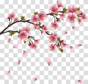 Cherry Blossom Drawing Sakura Branch Transparent Background Png Clipart Cherry Blossom Drawing Cherry Blossom Watercolor Cherry Blossom Art