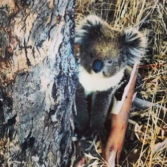 Adelaide Koala Rescue (@adelaidekoalarescue) • Photos et vidéos Instagram ,