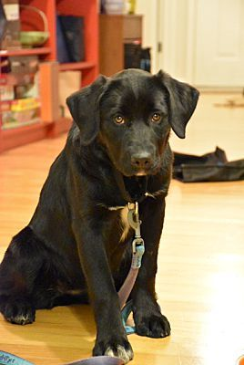 Chicago Il Labrador Retriever Meet Margo A Pet For Adoption Pet Adoption Labrador Retriever Pets