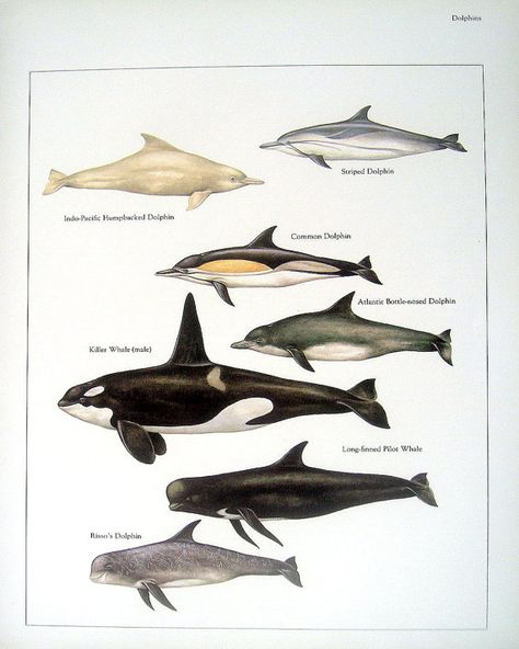 Items similar to Humpbacked Dolphin, Killer Whale, Common Dolphin, etc. Vintage 1984 Fish Book Plate on Etsy