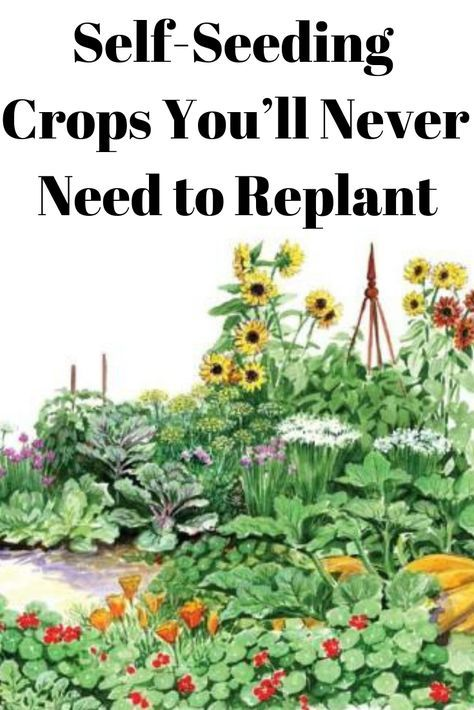 Some crop plants are self-seeding. With a bit of light management each generation can be coaxed into providing seeds season after season. garden ideas new zealand Self-Seeding Crops You'll Never Need to Replant Veg Garden, Edible Garden, Lawn And Garden, Garden Plants, Garden Sets, Fruit Tree Garden, Garden Works, Sunflower Garden, Backyard Plants
