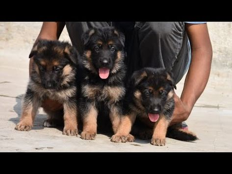 May 2019 German Shepherd Show Line Puppies Available In Karnataka