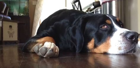Video Watch As This Funny Greater Swiss Mountain Dog Do The