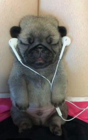 Click The Link For Watching More Funny And Cute Pug Puppies Video
