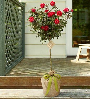 Growing Roses Home Garden Information Center