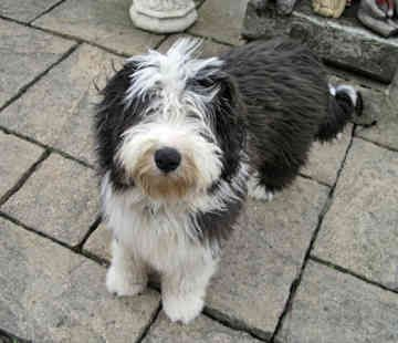 Bearded Collie Photo Collies Bearded Collies Dogs Dylan Back 20