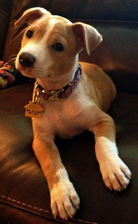 Neat Pitbull Mixed With Poodle D With Images Lab Mix