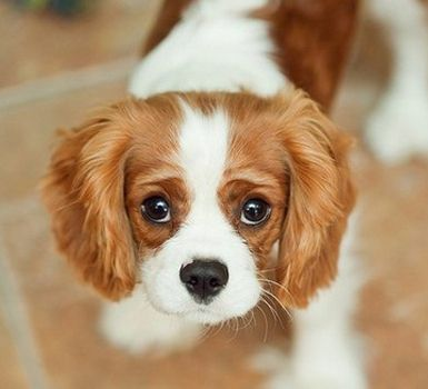 Choosing Your Puppy Cavalierkingcharlesspanieldogs Com In 2020 Puppies Dogs Cavalier King Charles