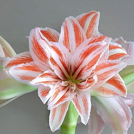Hippeastrum Dancing Queen Is A Tall Red White Amaryliss Variety Mainly Thought Of As A Christmas Flower But Is Availa Amaryllis Flower Guide Florist Supplies