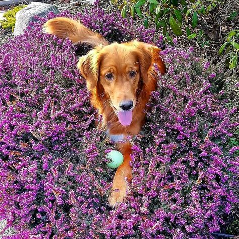 Thank you for tagging us  @selva_thegolden #lacyandpaws  Lavander Bliss  #goldenretriever #redgoldenretriever #goldenretrieversofinstagram #lacyandpaws #redhead #goldenpuppy #selva #redgolden #miamor #washington #redhairgoals #paws #mybaby #princess #hermosa #mylittlegirl #lovehersomuch #thebabyboo #gloriouspaws #goldenpaws #redpaws #ballislife #instadog #doglove #doglife #ilovemydog #instapet #beautifuleyes