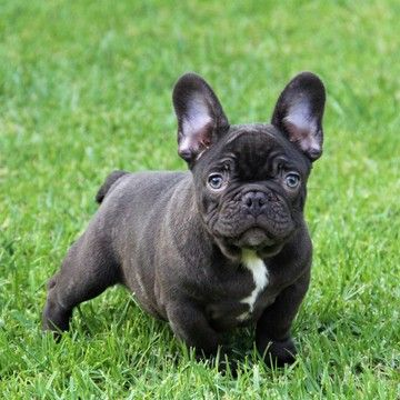 French Bulldog Puppy For Sale In Ojai Ca Adn 57524 On