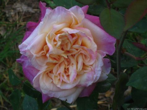 Madame Jean Dupuy 1901 Beautiful Flowers Rose Rose Rise