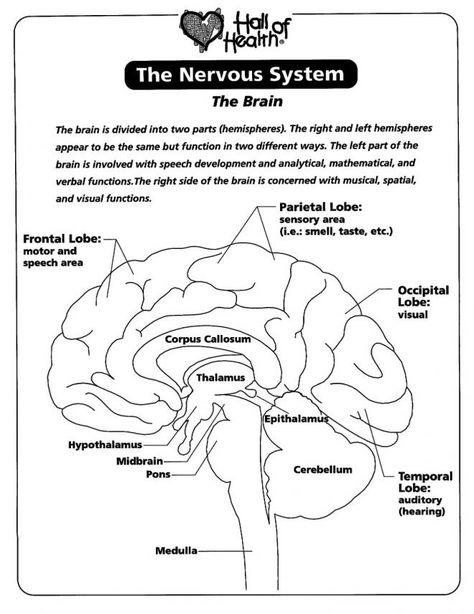 Nervous System The Brain Coloring Page Az Coloring Pages Human Brain Anatomy Nervous System Brain Nervous System