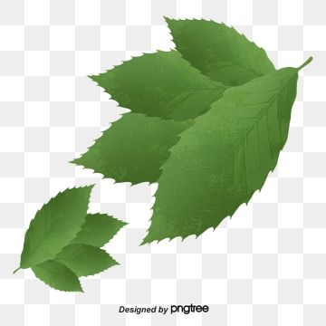 Mint Leaves Green Plant Leaf Png Transparent Clipart Image And Psd File For Free Download Plant Leaves Plants Mint Leaves